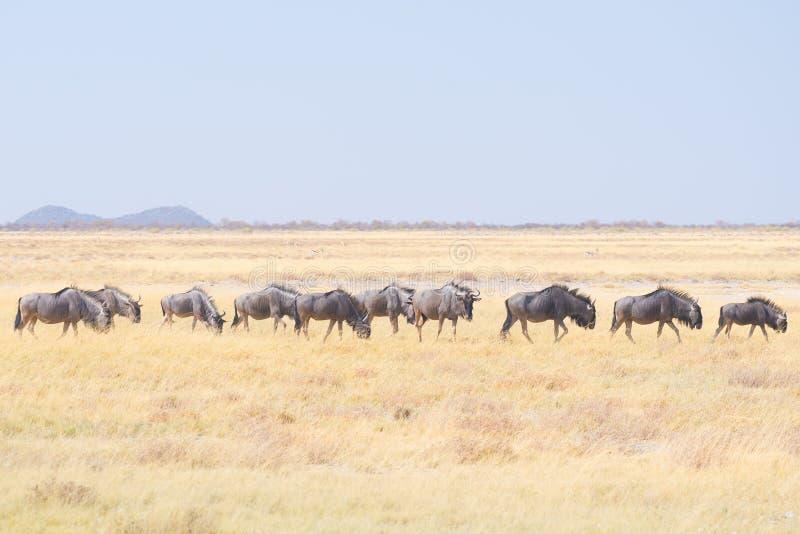 Stado Błękitny Wildebeest pasanie w krzaku Przyroda safari w Etosha parku narodowym, sławny podróży miejsce przeznaczenia w Namib obraz stock