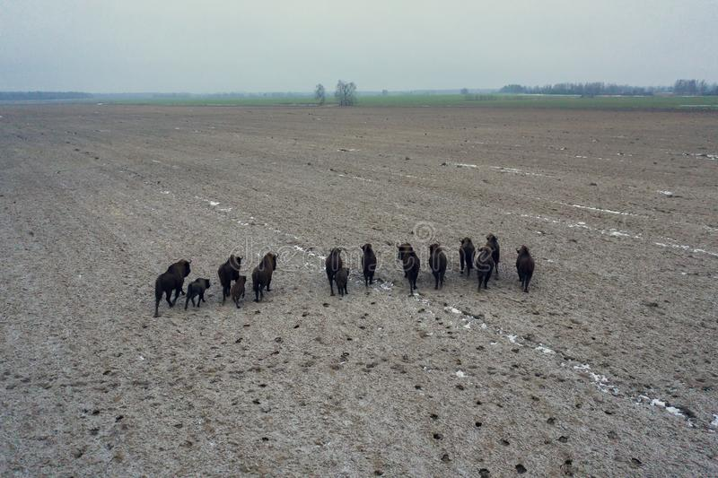 Stado bizonów na polu rolnym obraz royalty free