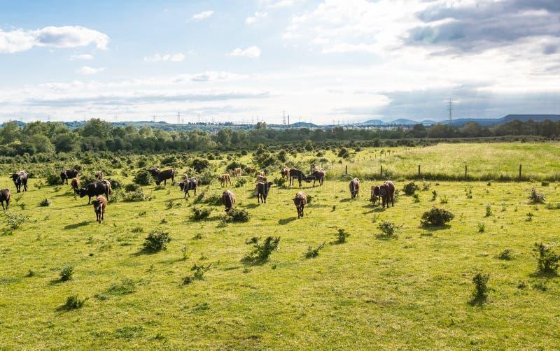Stado bydło cholery, pasa w polanie na wiosna słonecznym dniu w zachodnim Niemcy obrazy stock