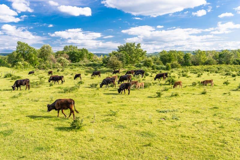 Stado bydło cholery, pasa w polanie na wiosna słonecznym dniu w zachodnim Niemcy zdjęcie royalty free