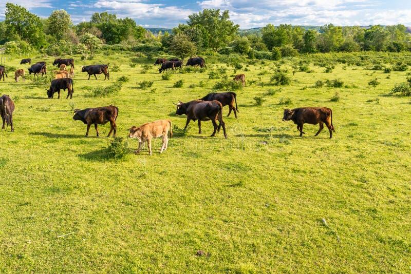 Stado bydło cholery, pasa w polanie na wiosna słonecznym dniu w zachodnim Niemcy obraz royalty free