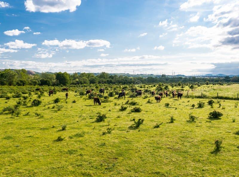 Stado bydło cholery, pasa w polanie na wiosna słonecznym dniu w zachodnim Niemcy obraz stock