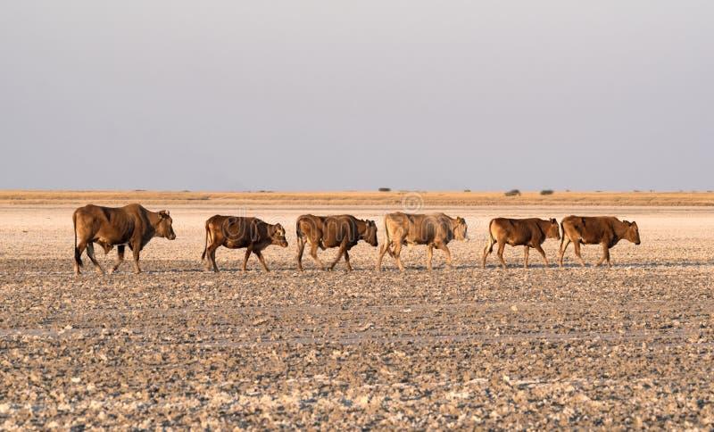 Stado bydło na Makgadikgadi niecce, Nwetwe niecka w Botswana fotografia stock