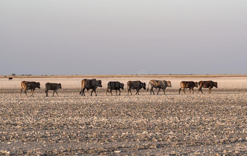 Stado bydło na Makgadikgadi niecce, Nwetwe niecka w Botswana zdjęcia stock