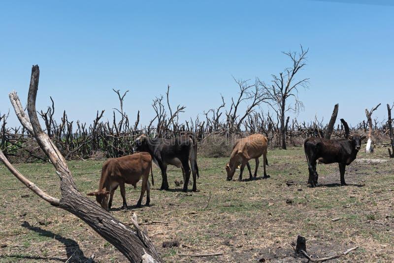 Stado bydło na paśniku na brzeg południowym Okawango delta w Botswana Jeziorny Ngami zdjęcia stock