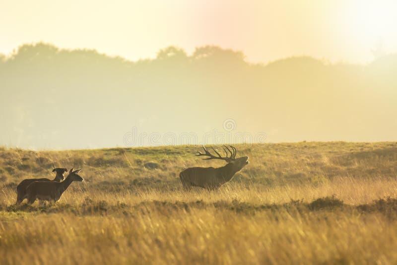 Stado czerwonego jelenia cervus elaphus ryczące i ryczące podczas zachodu słońca obrazy stock