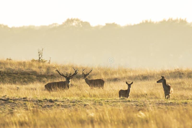 Stado czerwonego jelenia cervus elaphus ryczące i ryczące podczas zachodu słońca fotografia royalty free