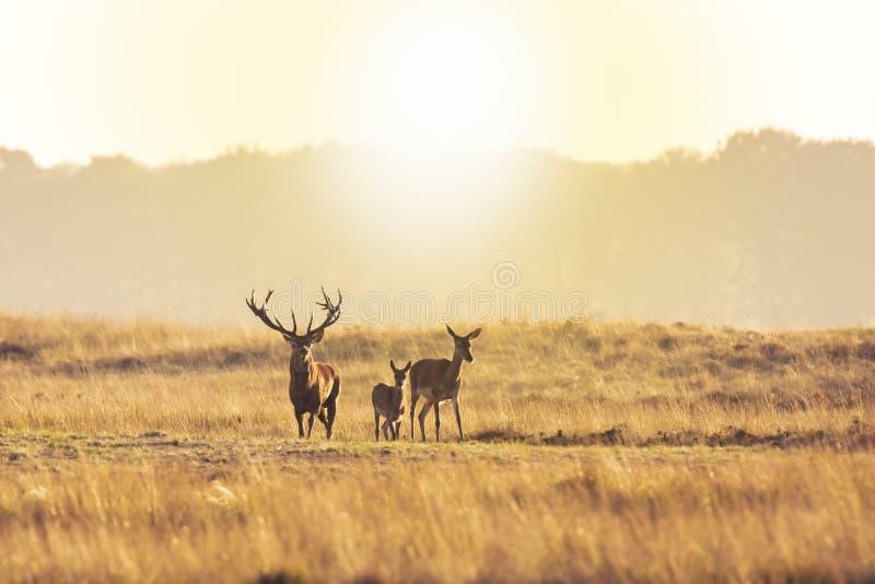 Stado czerwonego jelenia cervus elaphus ryczące i ryczące podczas zachodu słońca obraz royalty free