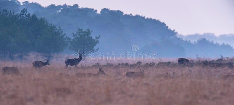 Stado czerwony rogacz w mglistym górkowatym krajobrazie obrazy stock