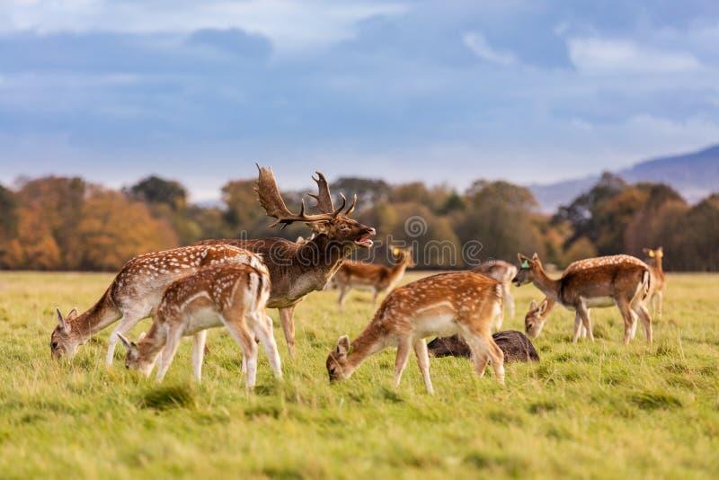 Stado dzicy rogacze w Phoenix parku, Dublin, Irlandia obraz royalty free
