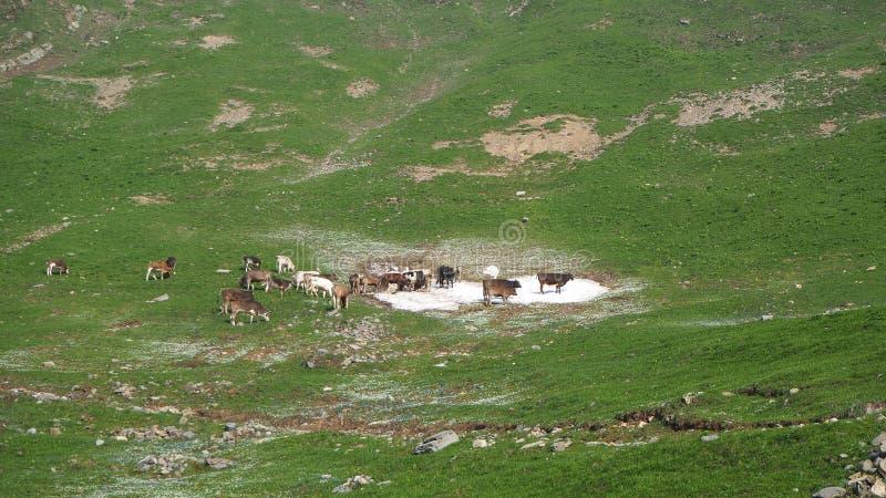 Stado dzikie krowy pasa przy wysokogórskimi łąkami Włoscy Alps Włochy obrazy royalty free