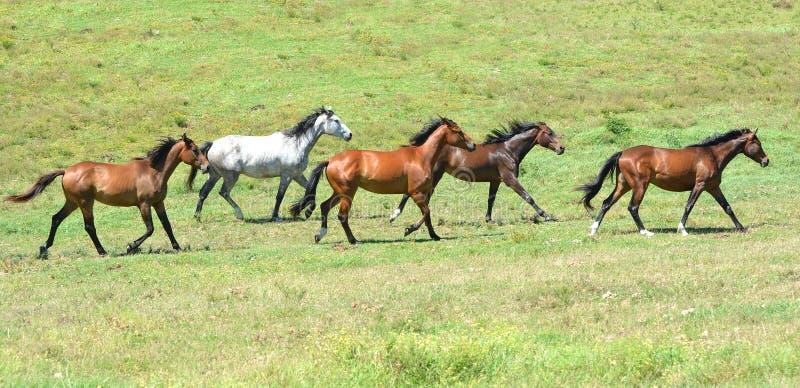 Stado equines kłusuje wpólnie obraz royalty free