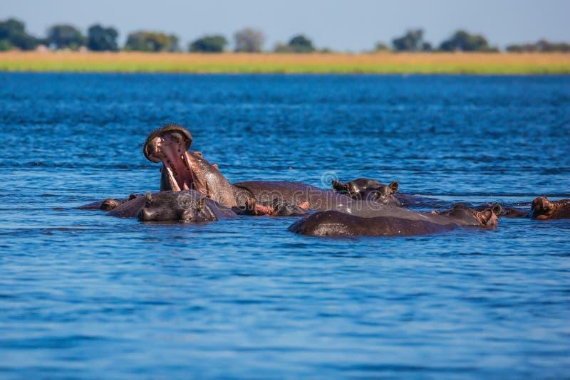 Stado hipopotamy zdjęcie royalty free