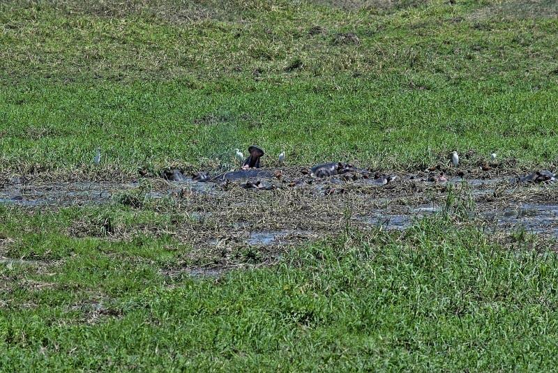 Stado hipopotamy z czaplami w bagnie, Gorgongosa park narodowy, Mozambik fotografia stock