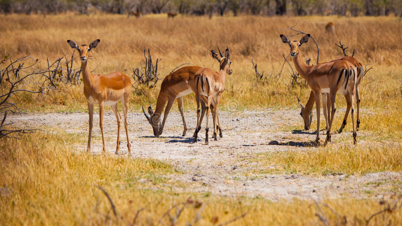 Stado impalas zdjęcia stock