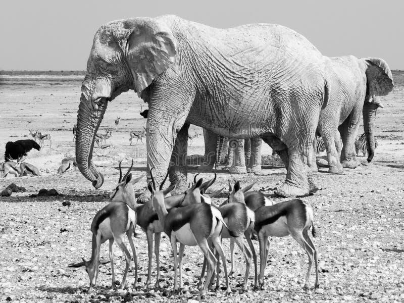 Stado impalas i słonie przy waterhole obrazy stock