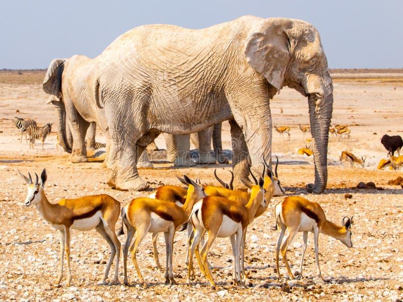 Stado impalas i słonie przy waterhole, Etosha park narodowy, Namibia, Afryka zdjęcie stock