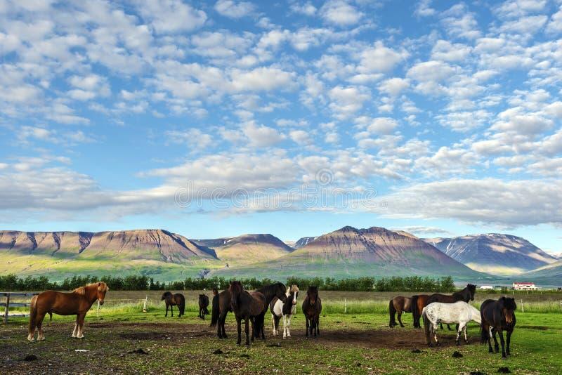 Stado Islandzcy konie w gospodarstwie rolnym Varmahlid wioska, góra krajobraz i stronniczo chmurny niebo, jesteśmy przy tłem obraz stock