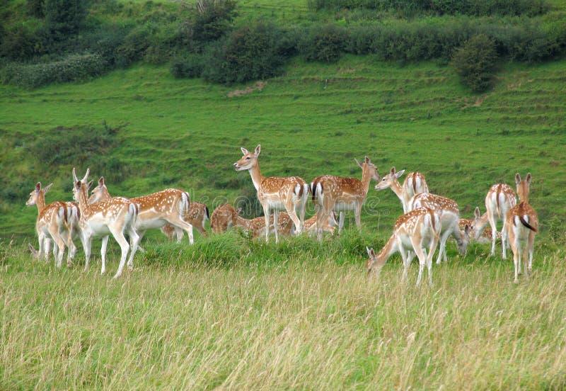 stado jeleni obraz royalty free