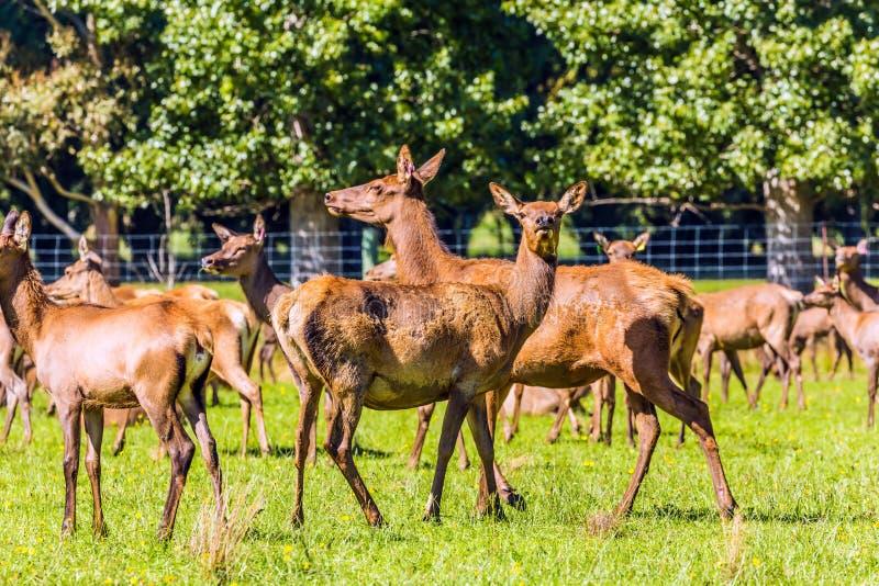 Stado jeleni pasanie na gazonie obraz stock