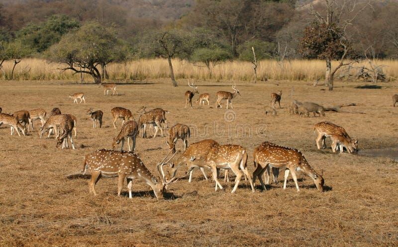 stado jeleni zatrzymał obraz royalty free