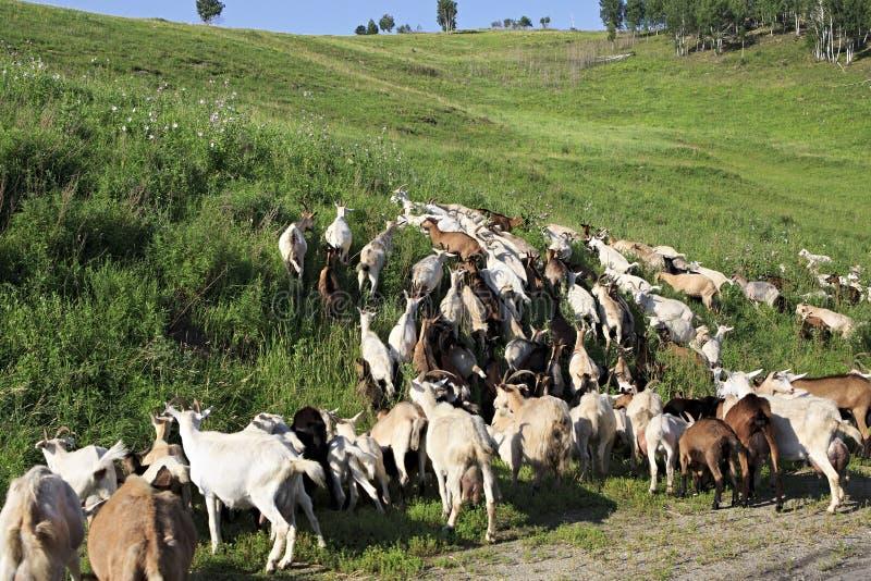 Stado kózki pasa na zielonym wzgórzu fotografia royalty free