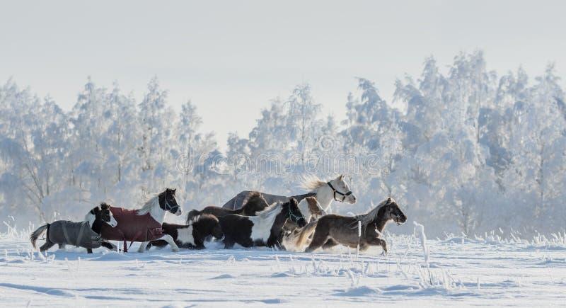 Stado koniki i miniatura konie na snowfield zdjęcia stock