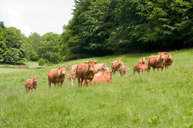 stado krów Limousin obraz royalty free