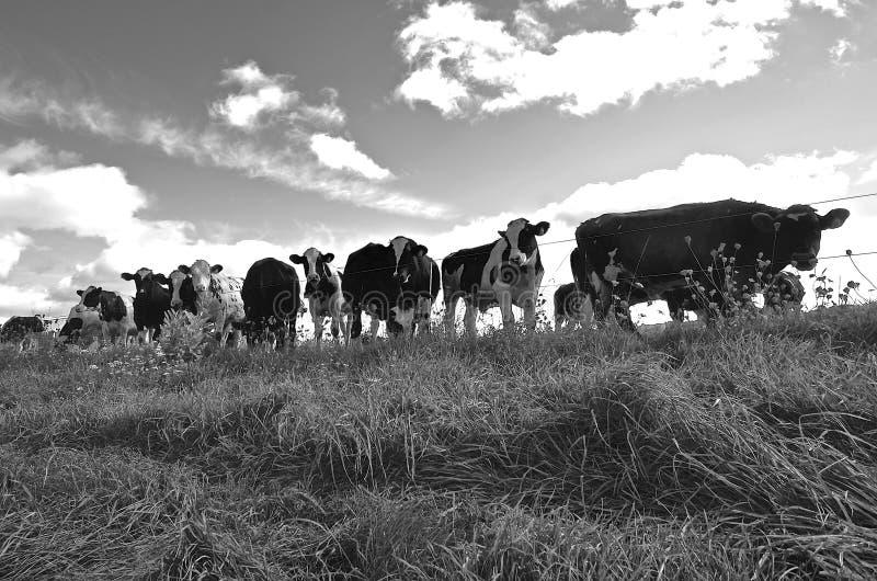 Stado krowy (czarny i biały) zdjęcia stock