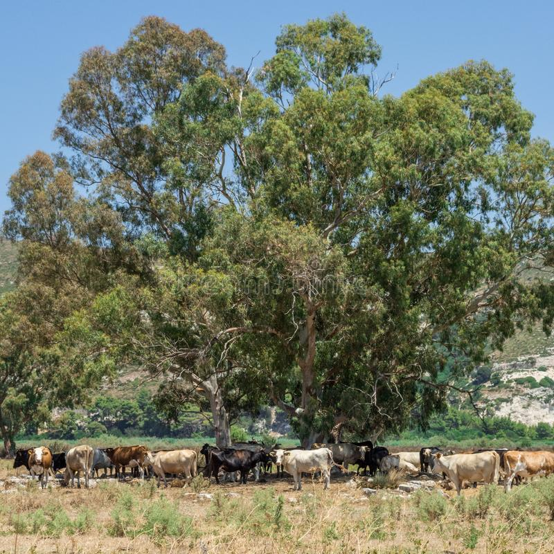 Stado krowy, Kefalonia Grecja obraz stock