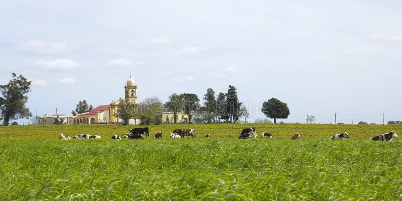 Stado krowy odpoczywa w Urugwaj. zdjęcie royalty free