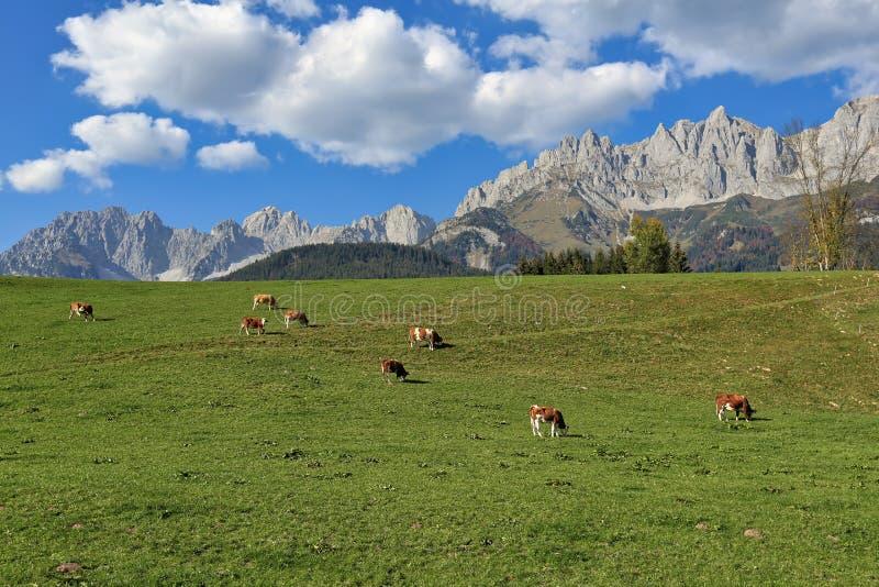 Stado krowy pasa blisko wioski Iść jest Wilden Kaiser przeciw Alps austria Tyrol fotografia stock