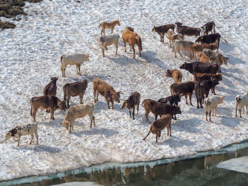 Stado krowy pasa na snowfield blisko do wysokogórskiego jeziora Włoscy Alps Włochy obraz stock