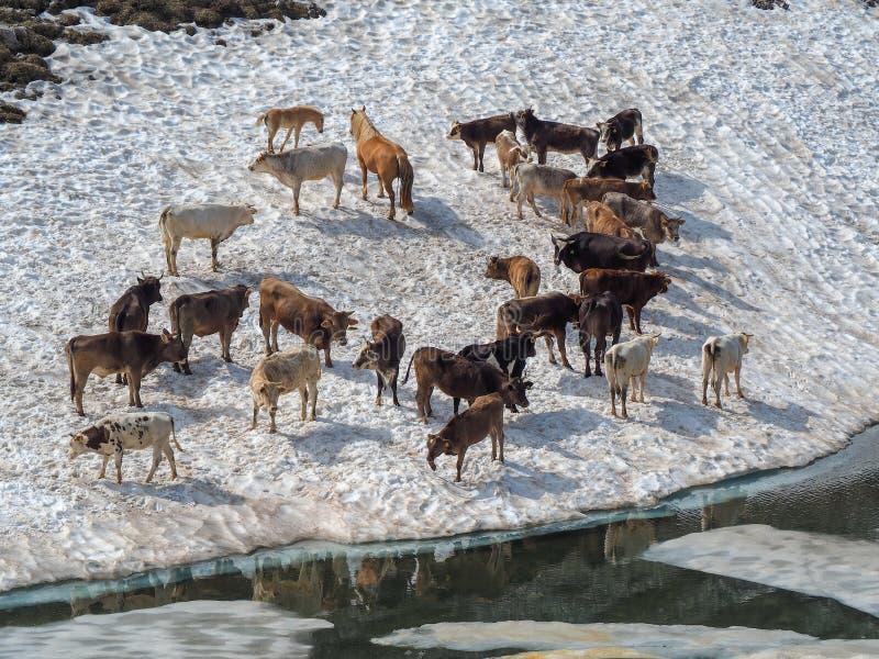 Stado krowy pasa na snowfield blisko do wysokogórskiego jeziora Włoscy Alps Włochy fotografia royalty free