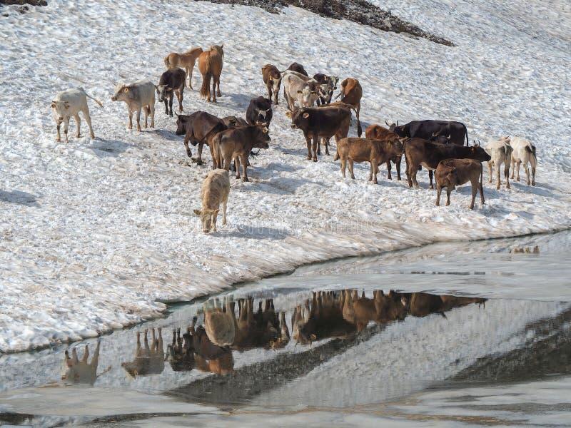 Stado krowy pasa na snowfield blisko do wysokogórskiego jeziora Włoscy Alps Włochy zdjęcia stock