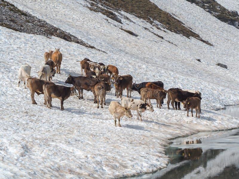 Stado krowy pasa na snowfield blisko do wysokogórskiego jeziora Włoscy Alps Włochy zdjęcie stock