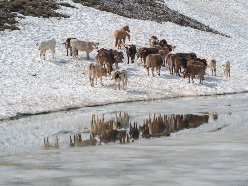 Stado krowy pasa na snowfield blisko do wysokogórskiego jeziora Włoscy Alps Włochy obraz royalty free