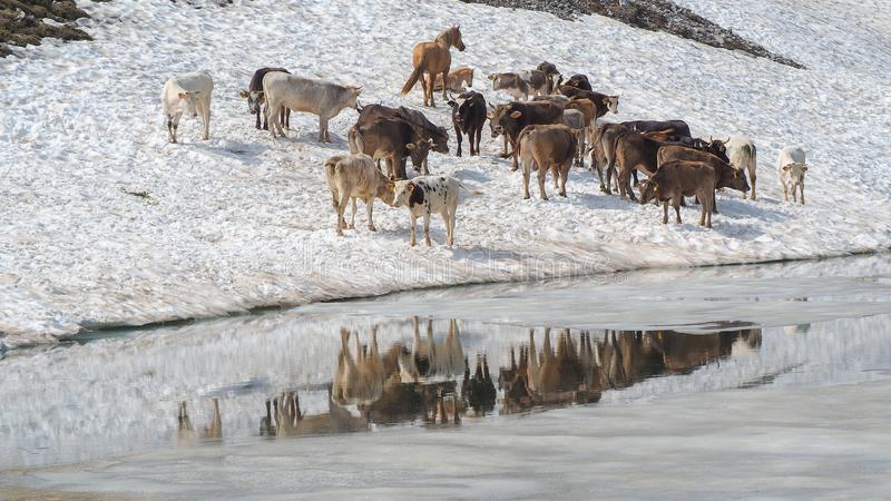 Stado krowy pasa na snowfield blisko do wysokogórskiego jeziora Włoscy Alps Włochy obrazy royalty free