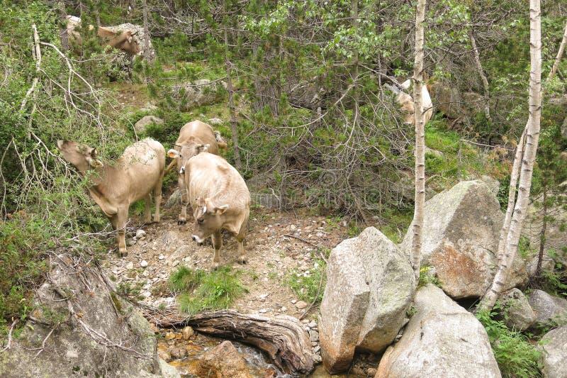 Stado krowy pasa w Katalońskich Pyrenees zdjęcia stock