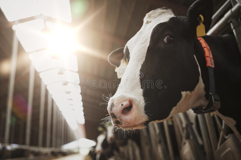 Stado krowy w cowshed na nabiału gospodarstwie rolnym obrazy royalty free