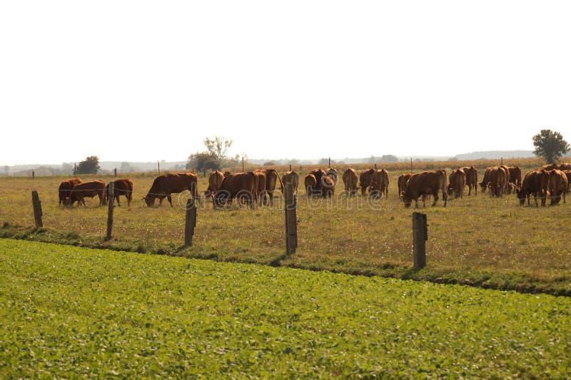 Stado krowy w paśniku, łydki po środku stada fotografia stock