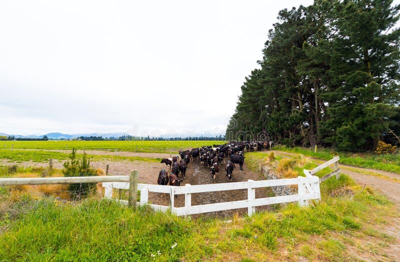 Stado krowy w piórze, Południowych Alps, Nowa Zelandia sortiert Odbitkowa przestrze? dla teksta obraz stock