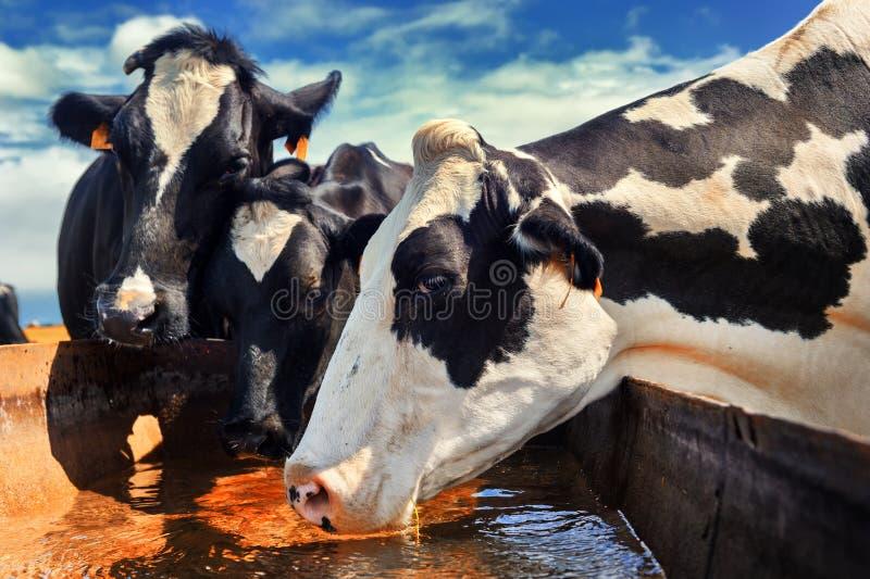 Stado krowy woda pitna zdjęcie stock