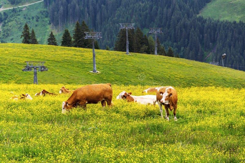 Stado krowy wypasa na pięknych zielonych Alps halnej łące, letni dzień kopii przestrzeń, podtrzymywalny organicznie uprawiać ziem obraz royalty free