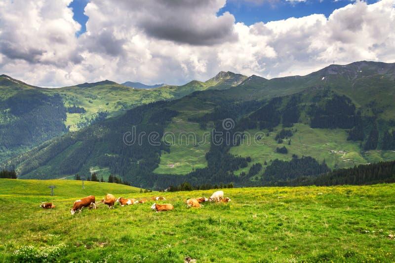 Stado krowy wypasa na pięknych zielonych Alps halnej łące, letni dzień kopii przestrzeń, podtrzymywalny organicznie uprawiać ziem obrazy stock