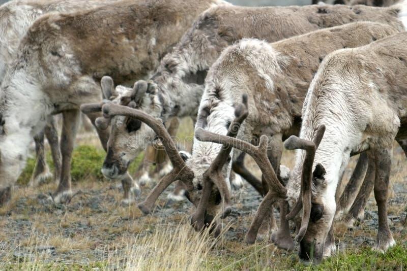 stado Laponii norweskich renifer fotografia stock