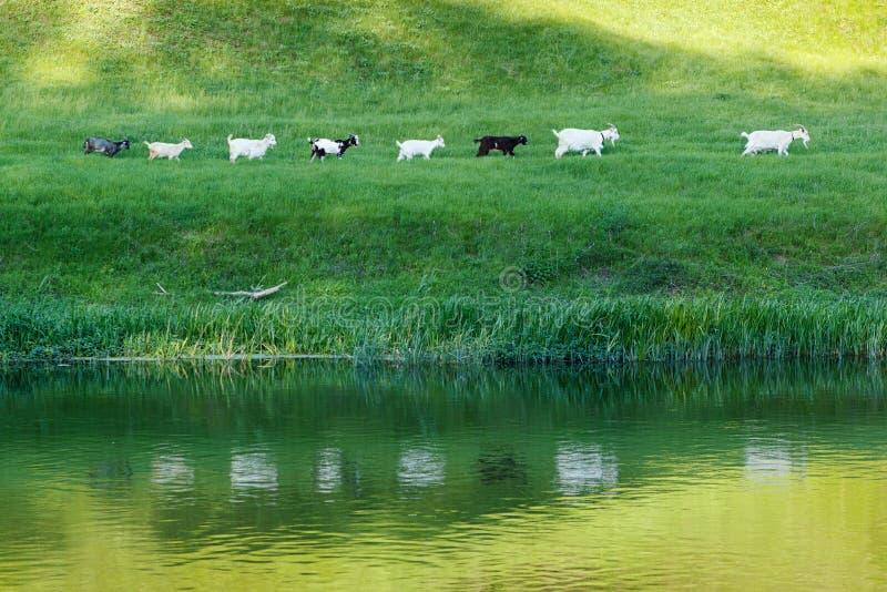 Stado linia kózki iść wzdłuż brzeg rzekiego na paśnik trawy łące zdjęcie stock