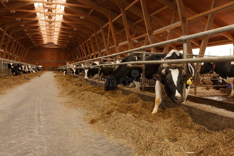Stado młode krowy w cowshed obraz royalty free