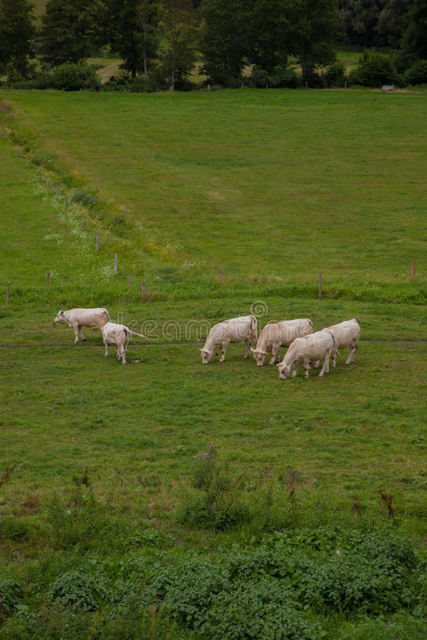 Stado młodzi byki dla hodować, w Normandy, Francja obraz stock