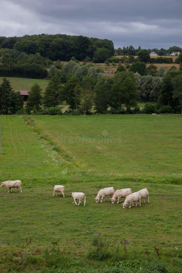 Stado młodzi byki dla hodować, w Normandy, Francja zdjęcie stock